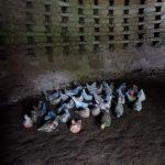 pigeons en céramique